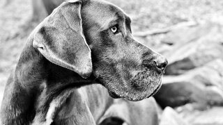 great-dane-2914317_1280